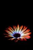 fleur noire de source Photo libre de droits