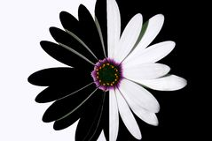Fleur noire et blanche Images libres de droits