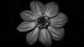 Fleur noire et blanche Photo stock