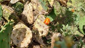 Fleur non-ouverte de cactus images libres de droits