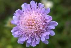 Fleur norvégienne Images stock