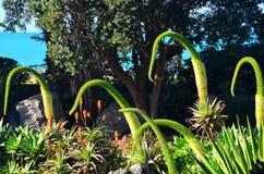 Fleur Nouvelle-Zélande d'Attenuata d'agave images libres de droits