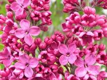 Fleur olive rose dans le jardin d'été Photographie stock