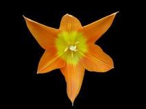 Fleur orange photos libres de droits