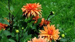Fleur orange banque de vidéos