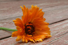 Fleur orange photo stock