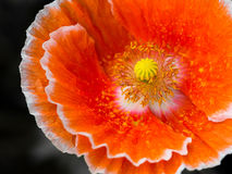 Fleur orange Image libre de droits