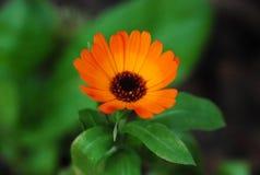 Fleur orange Photo libre de droits
