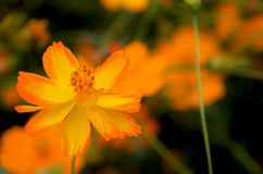 Fleur orange Photo libre de droits