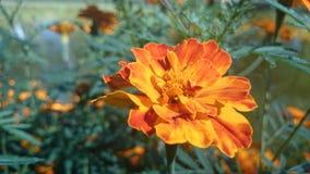 Fleur orange Photographie stock