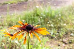 Fleur orange avec de grands pétales Image libre de droits