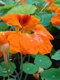 Fleur orange avec des baisses de rosée images libres de droits