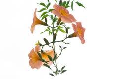Fleur orange avec des feuilles de vert d'isolement Images stock