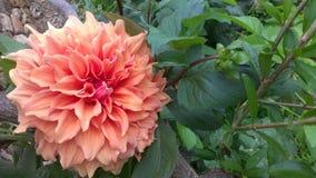 Fleur orange avec la feuille rouge verte Photos stock