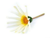 Fleur orange, blanche, jaune et verte de marguerite d'Asteraceae contre Photographie stock libre de droits