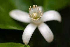 Fleur orange blanche parmi des feuilles photographie stock libre de droits