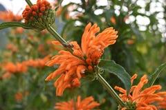 Fleur orange colorée dans le jardin botanique à Cape Town en Afrique du Sud Photographie stock