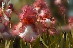Fleur orange d'iris sur un fond brouillé Image libre de droits