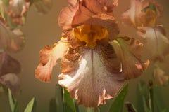 Fleur orange d'iris sur un fond brouillé Images stock