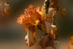 Fleur orange d'iris sur un fond brouillé Photo libre de droits