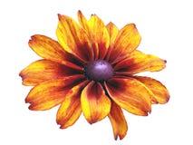 Fleur orange d'isolement Images libres de droits