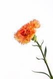 Fleur orange d'oeillet Photographie stock libre de droits