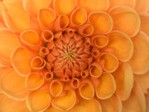 Fleur orange - dahlia Image libre de droits