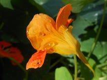 Fleur orange dans le jardin sur le soleil photo libre de droits
