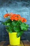 Fleur orange dans le pot jaune sur les milieux grunges images stock