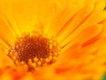 Fleur orange de calendula avec la rosée Fond Macro extrême s Images stock