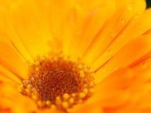 Fleur orange de calendula avec la rosée Fond Macro extrême s Photographie stock libre de droits