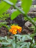 Fleur orange de chrysanthemum photo libre de droits