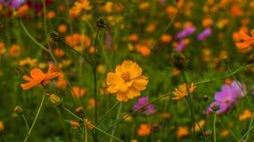 Fleur orange de cosmo photo libre de droits