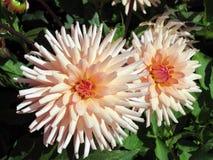 Fleur orange de dahlia dans le jardin Photographie stock libre de droits
