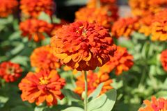 Fleur orange de floraison Photos stock
