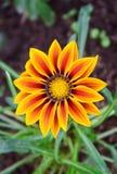 Fleur orange de gazania Images libres de droits