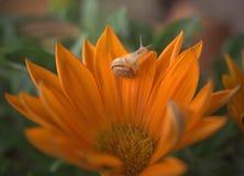 Fleur orange de Gazania avec un petit escargot photographie stock libre de droits