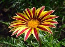 Fleur orange de gazania de tigre Photo stock