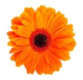 Fleur orange de gerbera Photographie stock libre de droits