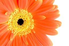Fleur orange de gerbera Image stock