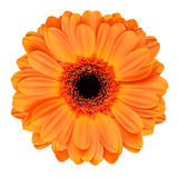 Fleur orange de Gerbera d'isolement sur le blanc Photographie stock libre de droits