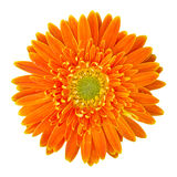 Fleur orange de gerbera d'isolement sur le blanc Image libre de droits