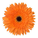 Fleur orange de gerbera d'isolement sur le fond blanc Photos stock
