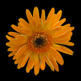 Fleur orange de gerbera sur le fond noir Photographie stock libre de droits