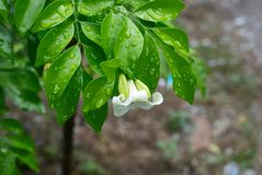 Fleur orange de jasmin dans le jardin image libre de droits