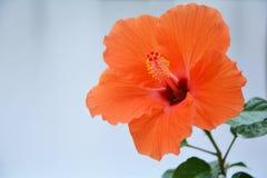 Fleur orange de ketmie Image libre de droits