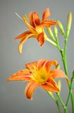 Fleur orange de lis Photos stock