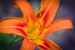 Fleur orange de lis de tigre Photographie stock libre de droits
