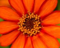Fleur orange de noyau avec le détail photo libre de droits