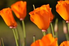Fleur orange de pavot d'état fermé de la Californie Image libre de droits